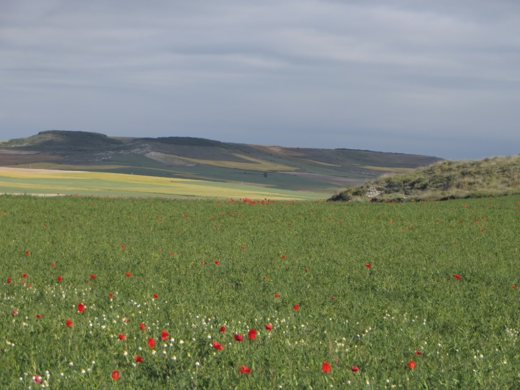 Snapping pictures of the fall wildflowers blooming beside the meandering trails on the Meseta  (click image to enlarge)